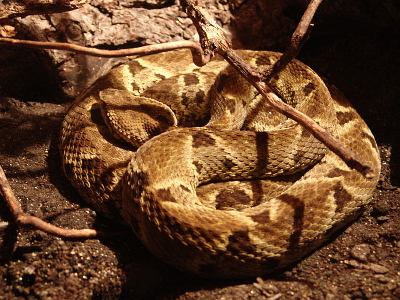 BOTHROPS LANCEOLATUS