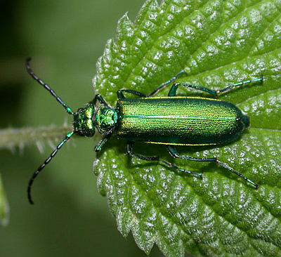 CANTHARIS (LYTTA) VESICATORIA