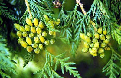 Thuja_occidentalis.jpg
